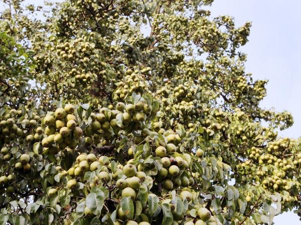 Die Frucht des Birnbaums © Weinfranz