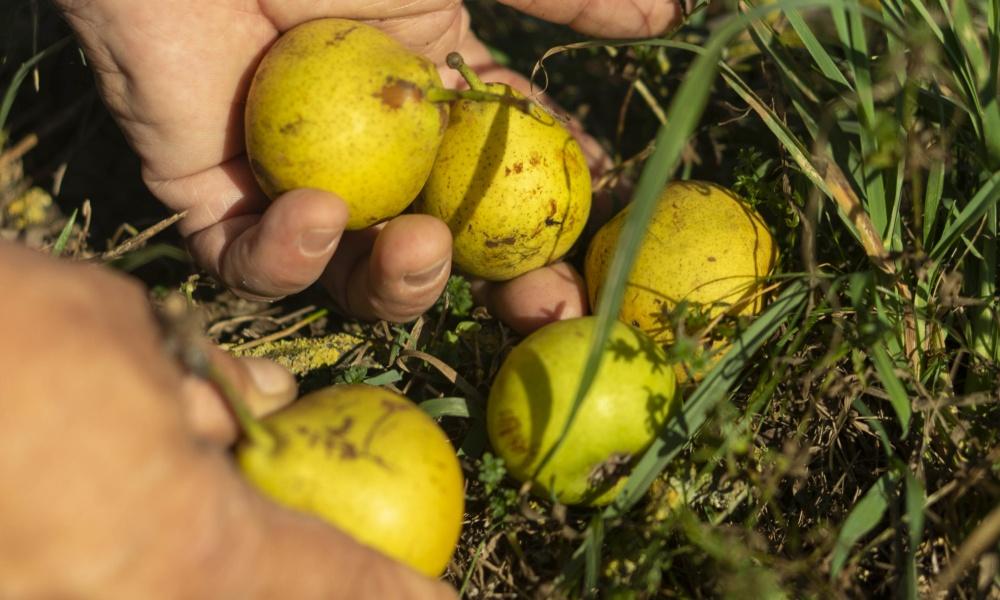 Obst klauben lohnt sich – Saft aus dem eigenen Garten, Foto: (c) Cleanhillstudios